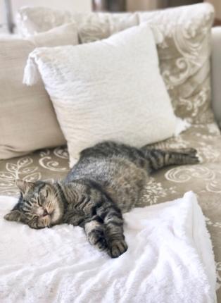 Classy colibri cat on sofa