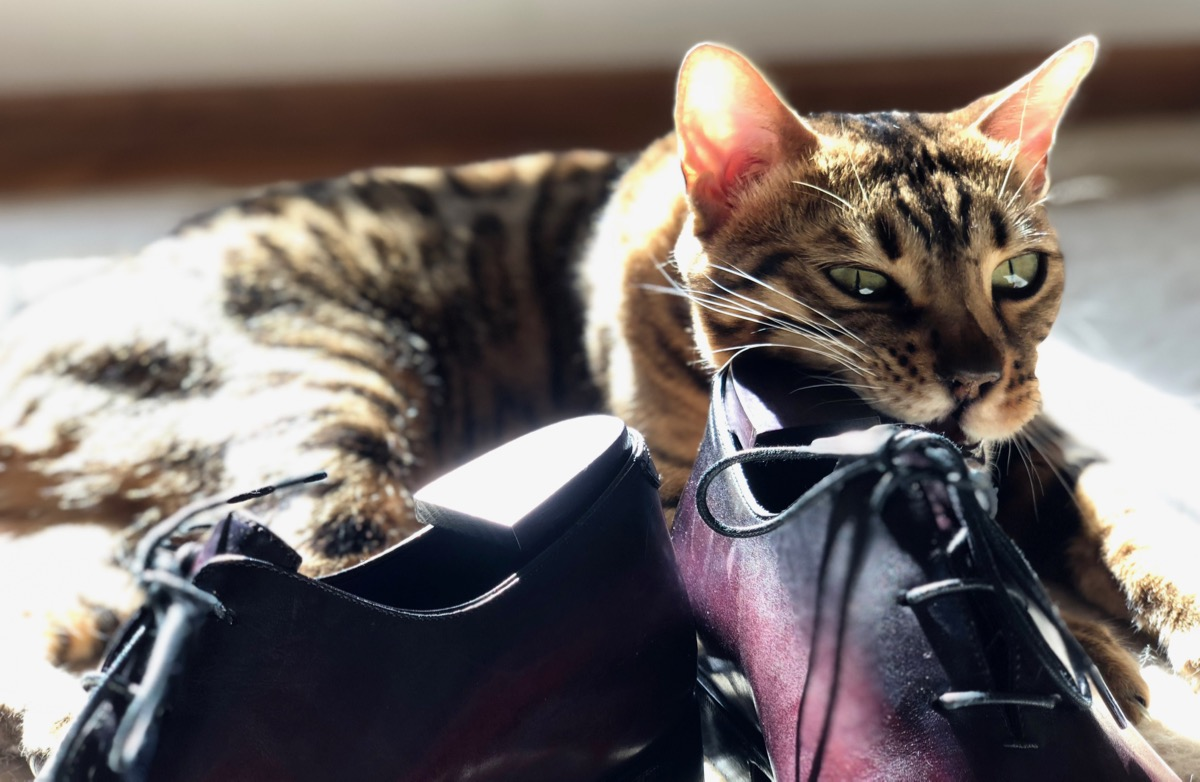 Classy colibri's Bengal cat Jafar and Berluti shoes