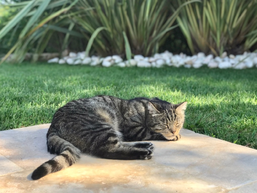 Classy colibri cat lounging in garden